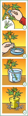 Boutures de cannabis cannabis marijuana et plus - Comment faire des boutures ...