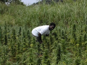 Champs de Cannabis au Jamaïque