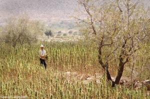hashish du maroc, cannabis, sensi seeds
